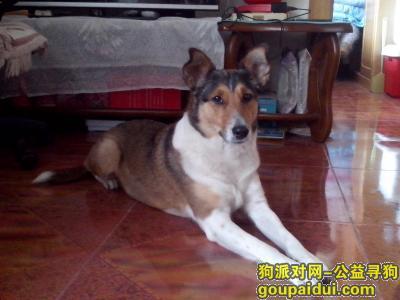 【北京找狗】,急寻找棕色短毛喜乐蒂,它是一只非常可爱的宠物狗狗,希望它早日回家,不要变成流浪狗。