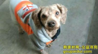 连云港寻狗主人,捡到只泰迪,主人在哪里,快快出现,它是一只非常可爱的宠物狗狗,希望它早日回家,不要变成流浪狗。