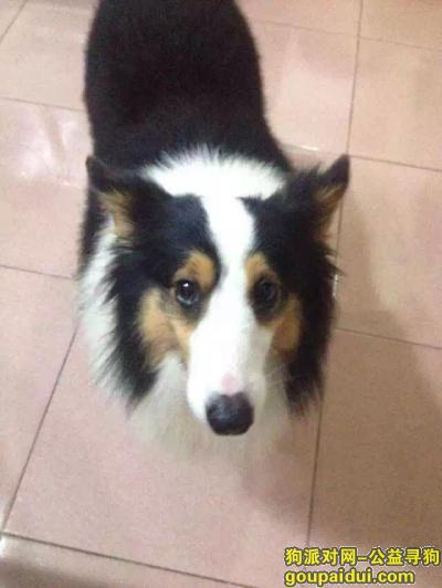 韶关寻狗,求网友援助!南雄被偷一只喜乐蒂!,它是一只非常可爱的宠物狗狗,希望它早日回家,不要变成流浪狗。