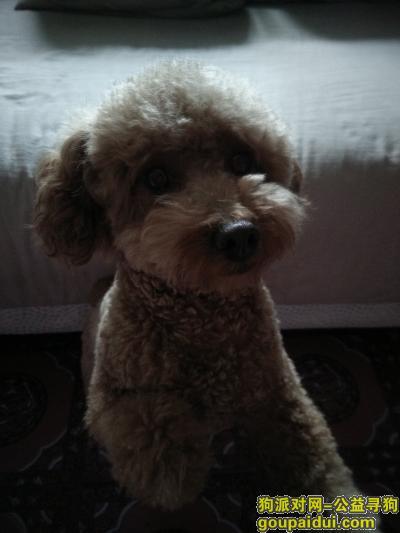 荆州找狗主人,谁家泰迪宝丢失?泰迪宝寻找回家路!,它是一只非常可爱的宠物狗狗,希望它早日回家,不要变成流浪狗。