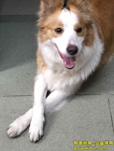 【深圳找狗】,深圳宝安沙井遗失爱狗边境牧羊犬,它是一只非常可爱的宠物狗狗,希望它早日回家,不要变成流浪狗。