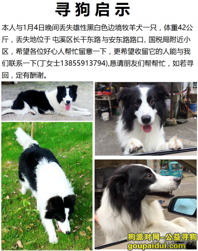 黄山寻狗启示,寻找爱犬-3岁大的边境牧羊犬,它是一只非常可爱的宠物狗狗,希望它早日回家,不要变成流浪狗。