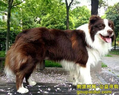 【上海找狗】,上海闵行古龙路悬赏一万元寻找边境牧羊犬,它是一只非常可爱的宠物狗狗,希望它早日回家,不要变成流浪狗。