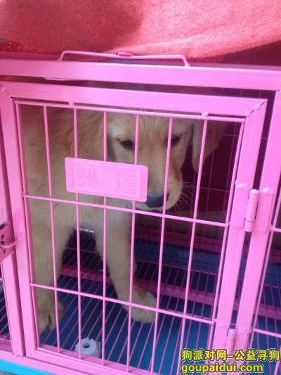 【杭州找狗】,寻找一只2个月大的在华东勘测院附近走失的小金毛犬,毛毛。,它是一只非常可爱的宠物狗狗,希望它早日回家,不要变成流浪狗。