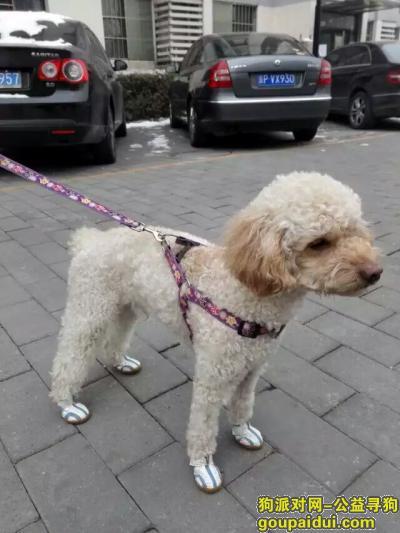 【北京找狗】,北京寻犬 浅杏色标准体贵宾泰迪 于1月10日晚在柏林爱乐小区走失,它是一只非常可爱的宠物狗狗,希望它早日回家,不要变成流浪狗。