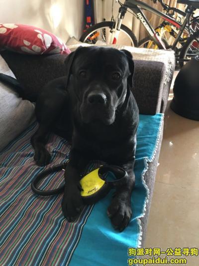 驻马店丢狗,1000元寻找黑色拉布拉多,它是一只非常可爱的宠物狗狗,希望它早日回家,不要变成流浪狗。