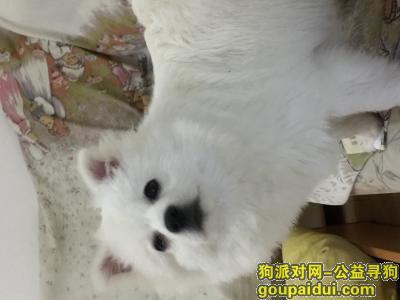 益阳寻狗,急寻白色银狐犬公八个月大,它是一只非常可爱的宠物狗狗,希望它早日回家,不要变成流浪狗。