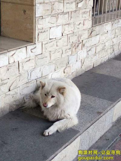 郴州寻狗启示,白色的,应该是萨摩耶犬,在苏仙区,苏仙宾馆周围,它是一只非常可爱的宠物狗狗,希望它早日回家,不要变成流浪狗。