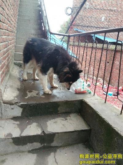 衡阳捡到狗,好像哈士奇或者阿拉斯加狗狗,它是一只非常可爱的宠物狗狗,希望它早日回家,不要变成流浪狗。