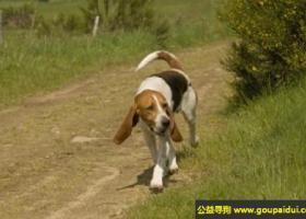阿图瓦猎犬 - 个性活跃、友善,脾性温和