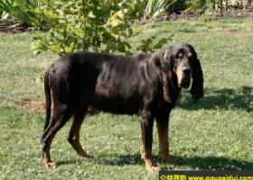 奥地利黑褐猎犬 - 嗅觉灵敏,和蔼可亲