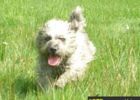 爱尔兰峡谷梗犬 - 忠诚于自己的主人和家庭