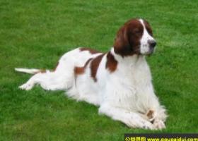 爱尔兰红白蹲猎犬 - 友好、聪明、喜欢工作