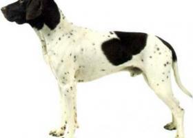 艾瑞格指示犬 - 适合于各种类型的狩猎