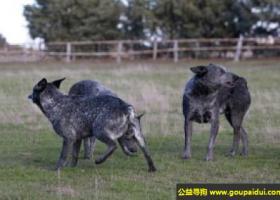 阿登牧牛犬 - 精力充沛并有很强的耐力