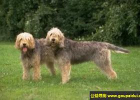 奥达猎犬 - 极端灵敏的嗅觉