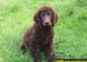 爱尔兰水犬 - 聪明有耐力且勇敢,警惕性高