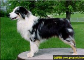 澳大利亚牧羊犬 - 聪明,警觉,活跃