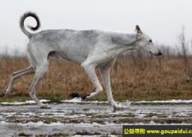 波兰灵缇犬 - 安静、令人舒心
