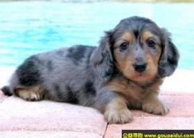 标准长毛腊肠犬 - 活泼,开朗,快乐的狗