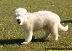 俄罗斯南部牧羊犬 - 优秀的守门犬