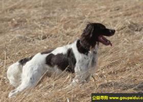 法国猎犬 - 嗅觉灵敏、狩猎时有耐心