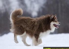 芬兰驯鹿犬 - 健壮自信,热爱工作,聪明敏捷