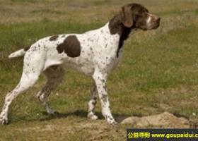 法国比利牛斯指示犬 - 是一种具有追踪本能的猎犬