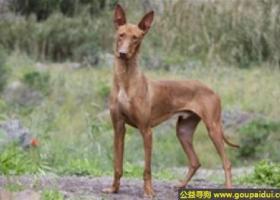 加那利沃伦猎犬 - 活泼,有克制力