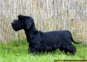 捷克梗犬 - 有耐心,可爱,温顺