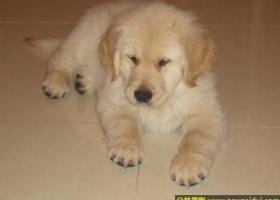 金毛犬 - 友善、可靠、可信赖