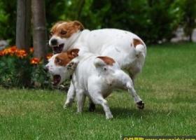 杰克拉赛尔梗犬 - 活泼、机敏、警觉、聪明