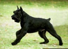 巨型雪纳瑞犬 - 机灵、有训练能力、有信心