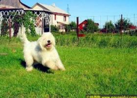 可蒙犬 - 专注于主人的家庭或它照顾的羊群