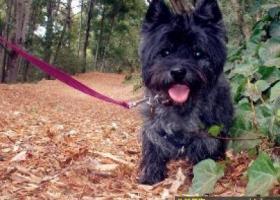 凯恩梗犬 - 聪明,忠诚,活泼,与人和善