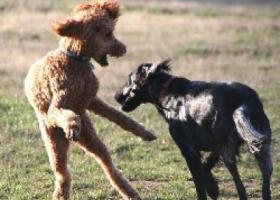 蓝色匹卡迪档猎犬 - 好学、容易调教