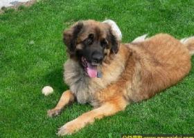 兰伯格犬 - 性情平和、自信