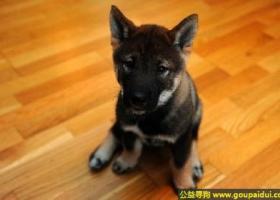 四国犬 - 温顺、勇敢固执、对主人很温柔