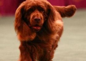 苏赛克斯长耳猎犬 - 有耐力、嗅觉灵敏