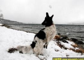斯塔比荷猎犬 - 忠实、敏感、温驯