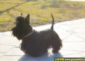 苏格兰梗 - 对其它犬有好斗性