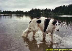 苏俄猎狼犬 - 高大而纤细,但是充满了力量