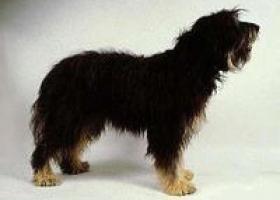 斯提瑞恩粗毛猎犬 - 安静温柔的伴侣犬