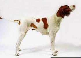 圣·日尔曼指示犬 - 极好的陆上追踪犬