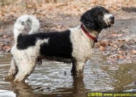 西班牙水犬 - 工作勤奋、警惕性强