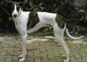 匈牙利灵缇犬 - 警惕性高,时刻做好保护的准备