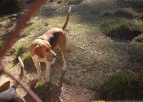 英国猎狐犬 - 有耐力、喜好跟踪猎物