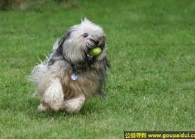 西藏梗犬 - 喜欢运动和工作,拒绝生人
