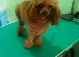寻狗启示,台市莱山区丢失枣红色茶杯体公狗泰迪,它是一只非常可爱的宠物狗狗,希望它早日回家,不要变成流浪狗。