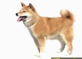 柴犬 - 朴实而雅致、灵巧机敏、英勇大胆